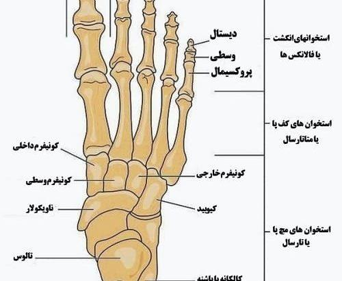 آناتومی کف و مچ پا